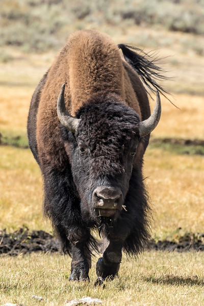 Approaching Bison