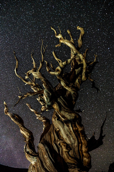 Ancient Bristlecone Pine at Night