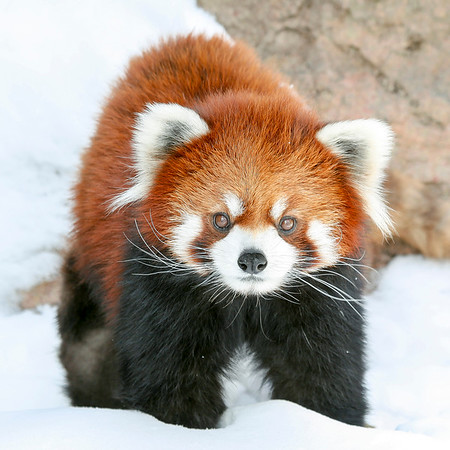 Red Panda in the Snow