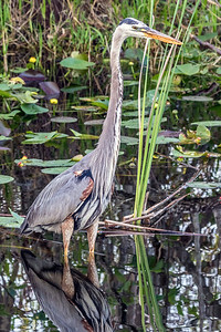 Great Blue Heron at Shark Valley