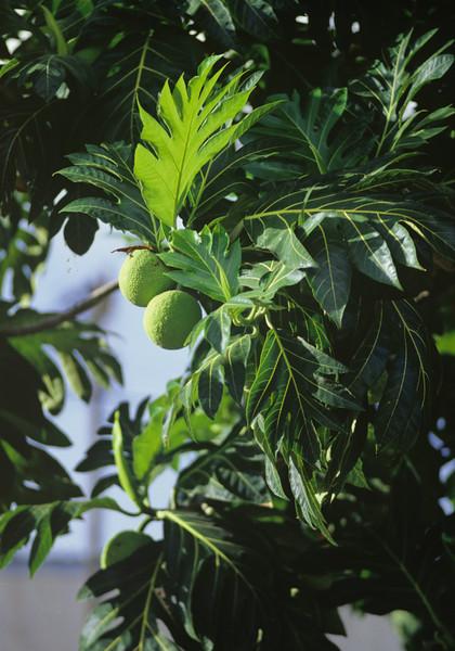 Kuru Tree