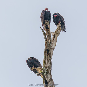 Vultures on a dead tree