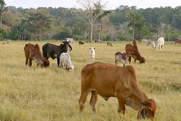 Indu-Brazil, a Zebu cattle - Zebu specifying humped-back cattle, which are indigenous to India