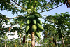 "Papaya fruit - known at the ""star"" of Costa Rica farming - rich in Vitamins A,C,E, and potassium, and good source of fiber"