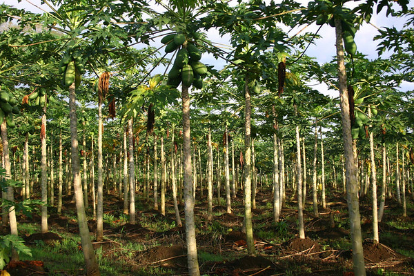 Papaya (Carica papaya) - also called Pawpaw - this plant can grow to about 30 ft. (9 m) tall - native to the tropics of the Americas