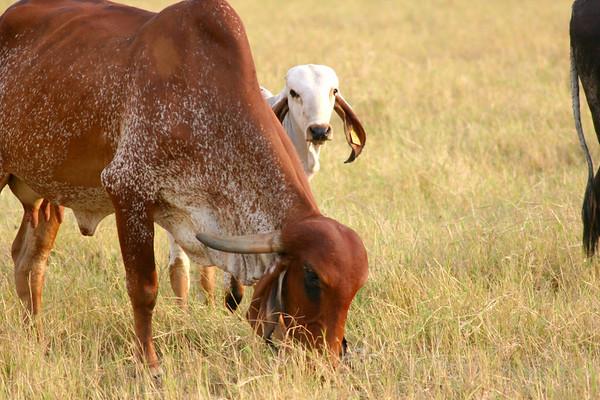 Indu Brazil Zebu Cattle (cow and calf) - grazing in the northwestern section of the Nicoya Peninsula - Guanacaste province