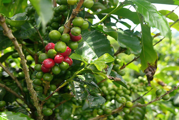 """Coffee """"cherries"""" - they turn red when ripe and ready for harvesting - which is during the dry season (late winter and early spring) in Costa Rica"""