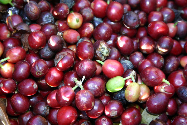 Coffee cherries - more than 70% of Costa Rican coffee is grown on family-run farms
