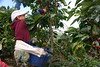 Pepe - picking ripe coffee cherries, which he places into a plastic container, secured to his waist with a towel