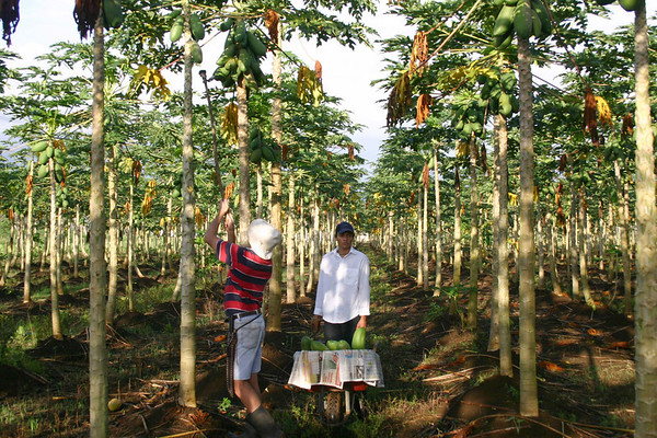 Harvesting papaya fruit - poke the fruit upward with a stick, snapping the stem from the trunk, and catching the fruit  before it hits the ground and ruptures - near town of Los Angeles - Alajuela province