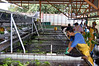 Trimmers place the bunches of bananas into the wash process - Limon province (north)