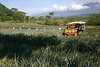 Pineapple harvesting in the Valle de General, south of San Isidro (city) - with the Cordillera Talamanca (mountains), among the cumulus clouds in the distance - San Jose province (south-central)