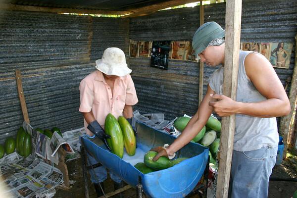 Papaya processing in the field