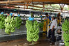 Stalks of bananas on the conveyor system - where trimmers cut into smaller bunches for processing - Limon province (north)