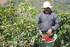 Carlos picking coffee cherries in the Terrazu region - northern end of the Cordillera de Talamanca (mountain) - San Marcos province