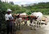 Enrique with his oxen and wooden coffee cart, that is used to haul bags coffee cherries, from the fields to a central storage and transport - Cordillera Tilaran (mountains) - Guanacaste province (southeast)