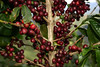 """Coffee cherries - ripe and ready for harvesting - there are two types of beans the """"aribica"""" (a high altitude bean, self-pollinating, better flavor, which comprises about 75% of the Planet's production) - and the """"robusta"""" (a low altitude, cross-pollinating, with a higher caffeine content)"""