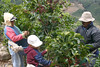 Carlos, with his grandchildren, Alicia and Pepe - picking Coffee cherries in the Zona de Los Santos - Tarrazu Region - near the village of Santa Maria de Dota - San Jose province