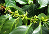 Buds of a Coffee Plant (Coffea arabica)