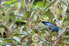 Blue Dacnis or Turquoise Honeycreeper (Dacnis cayana) - member of the Tanger Family - feeding on the fruit