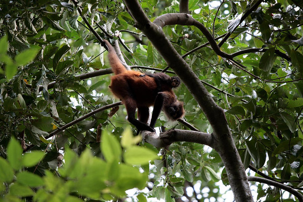 Geoffroy's Spider Monkey (Ateles geoffroyi) - toting the young juvenile