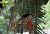 Fiery-billed Aracari (Pteroglossus frantzii) - munching on palm fruit