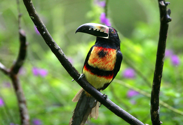 Collared Aracari (Pteroglossus torquatus) - is a Toucan that measures about 16 in. (41 cm) long and weight up to about 9.5 oz. (270 gm)