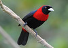 Crimson-collared Tanager (Ramphocelus sanguinolentus)