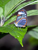Clearwing Butterfly (Hypoleria lavinia cassotis) -