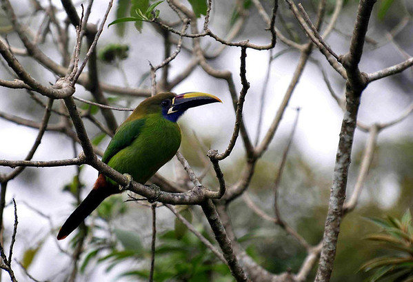Emerald Toucanet (Aulacorhynchus prasinus) - they grow to about 14 in. (35 cm) long and weigh about 8 oz. (230 gm)