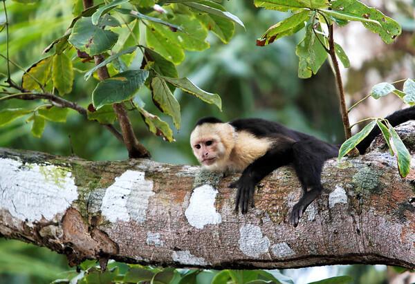 White-faced Capuchin (Cebus cupachinus)