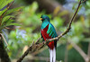 Resplendent Quetzal (Pharomachrus mocinno) - a bird in the Trogon family - males have yellow beaks (females are black)
