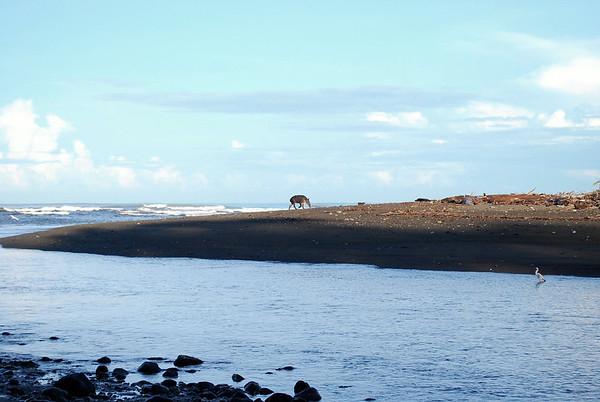 Baird's Taipir (Tapirus bairdii) - at the mouth of the Rio Sirena into the Pacific Ocean - in Corcovado National  Park