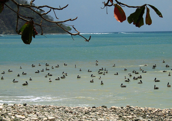 Colony of Brown Pelican  (Pelecanus occidentalis) - along the shoreline at Cabo Blanco - the southern end of the Nicoya Peninsula