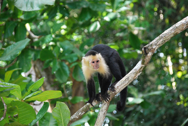 White-faced Capuchin (Cebus cupachinus) - weight reaches up to 13 lb. (6 kg) and length up to 22 in. (56 cm), with its prehensile tail as long as its body