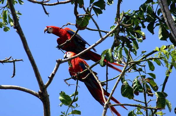 Scarlet Macaw (Ara macao) - this species of parrots mate for life - and their life expectancy is around 75 yrs.