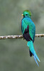 Resplendent Quetzal (Pharomachrus mocinno) - a bird in the Trogon family - they have an blue-green iridescence dorsal plumage, with a spiked ridged crown - this male, showing its long tail streamers