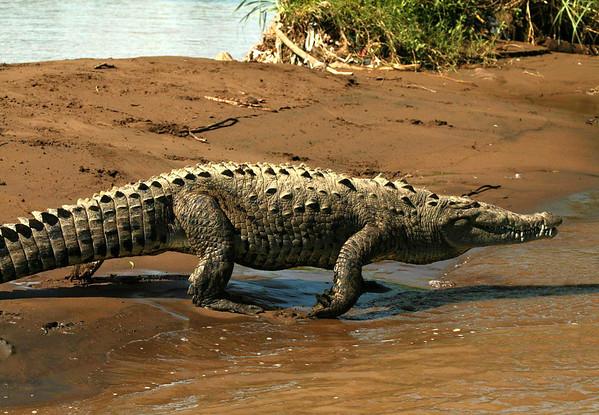 "American Crocodile (Crocodylus acutus) - doing a ""high-walk"" along the banks of the Tarcoles River"