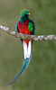 Resplendent Quetzal (Pharomachrus mocinno) - they measure about 16 in. (40 cm) long, plus tail streamers growing up to around 24 in. (61 cm) on the males only - and weight about 7 oz. (210 g)