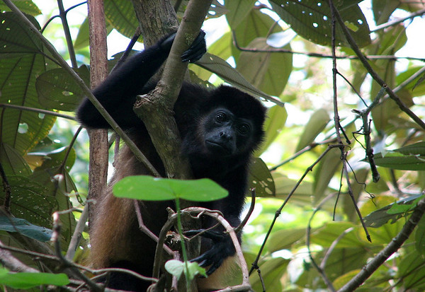 Golden-mantled Howler (Alouatta palliata palliata)