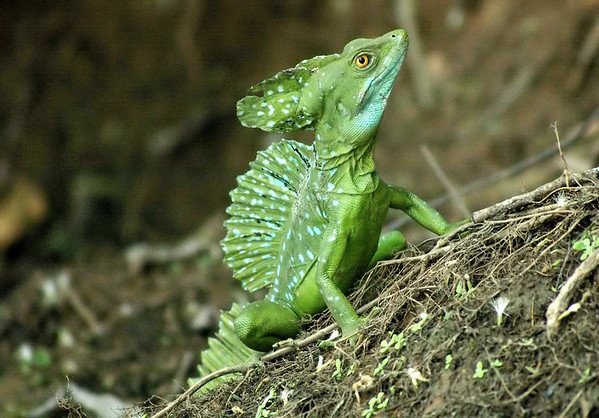 Green Basilisk Lizard (Basiliscus plumifrons) - they are omnivores, feeding on insects, small mammals, smaller species of lizards, fruits and flowers