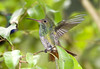 Rufous-tailed Hummingbird (Amazilia tzacatl) - grow to about 4.7 in. (12 cm)
