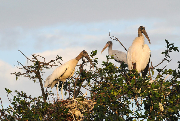 Wood Stork (Mycteria americana) - a wetland bird on their tree-top nests - they are the only stork species in North America - they measure about 4 ft. (1.2 m) tall, a wingspan as wide as 5.5 ft. (1.7 m), and weigh up to about 10 lb. (4.5 kg)