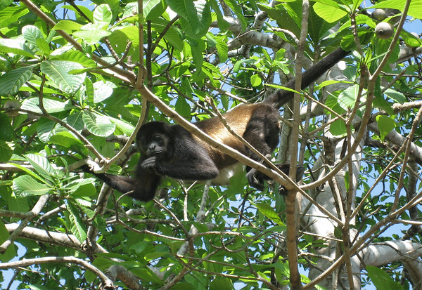 Golden-mantled Howler Monkey - named for the gold to buff hair on their sides
