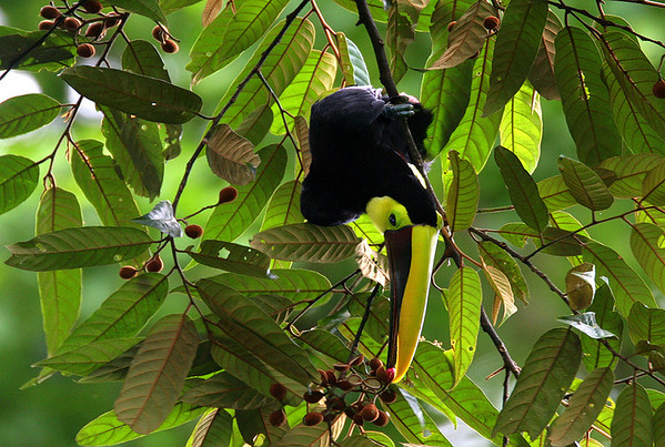Chestnut Mandibled Toucan - munching on the skillfully plucked tree pods