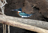 Amazon Kingfisher (Chloroceryle amazona) - they grow to about 11.5 in. (29 cm) long and weigh about 4 oz. (110 gm)