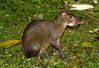 Central American Agouti (Dasyprocta punctata) - 5 front toes and 3 hind - strictly diurnal - their body length measures about 2 ft. (62 cm) and weights up to around 8 lb. (3.6 kg)