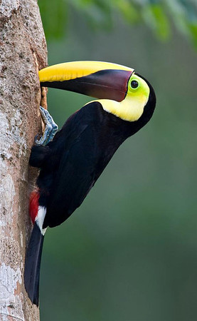 Chestnut-mandibled Toucan (Ramphastos swainsonii) - a rainforest bird that makes its nest in the holes of trees
