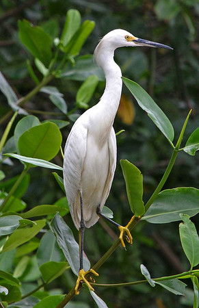 Snowy Egret (Egretta thula) - measuring about 2 ft. (61 cm) long, and weighing about 13 oz. (375 gm) - characterized by a slim black bill and legs, with yellow feet