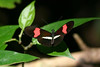 Crimson-patched Longwing Butterfly (Heliconius erato) - grows about a 3 in. (76 mm) wingspan